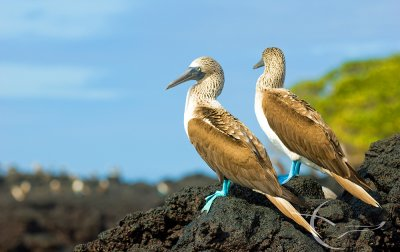 Casa Natura Galapagos Lodge Adventures (Blue-footed-boobies)