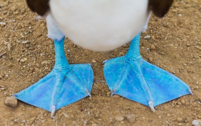 close up of a blue-footed boobie