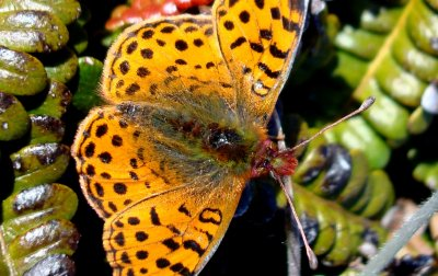 Queen of the Falklands Fritillary