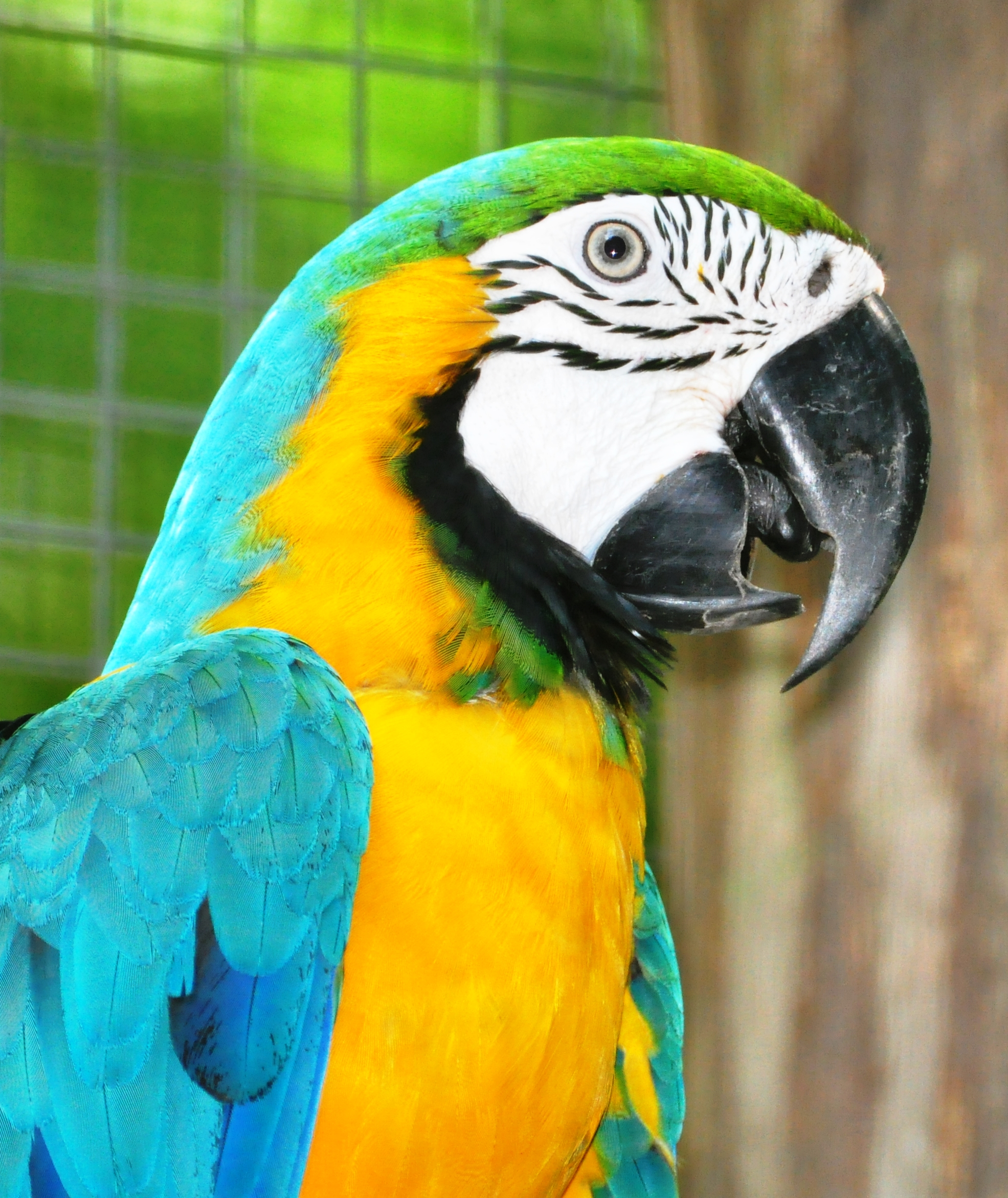 Blue-and-Yellow Macaw in the Amazon Rainforest