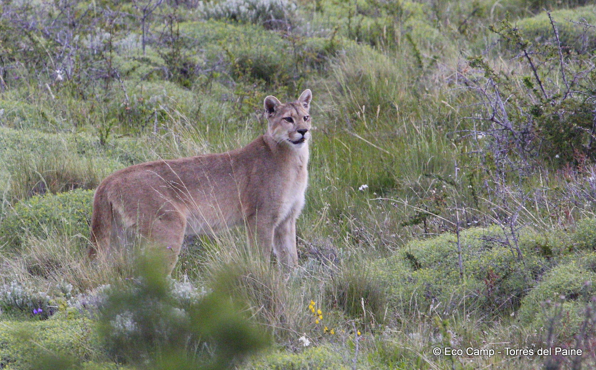 The Wonderful Wildlife of Chile: Land Animals - Latin Routes